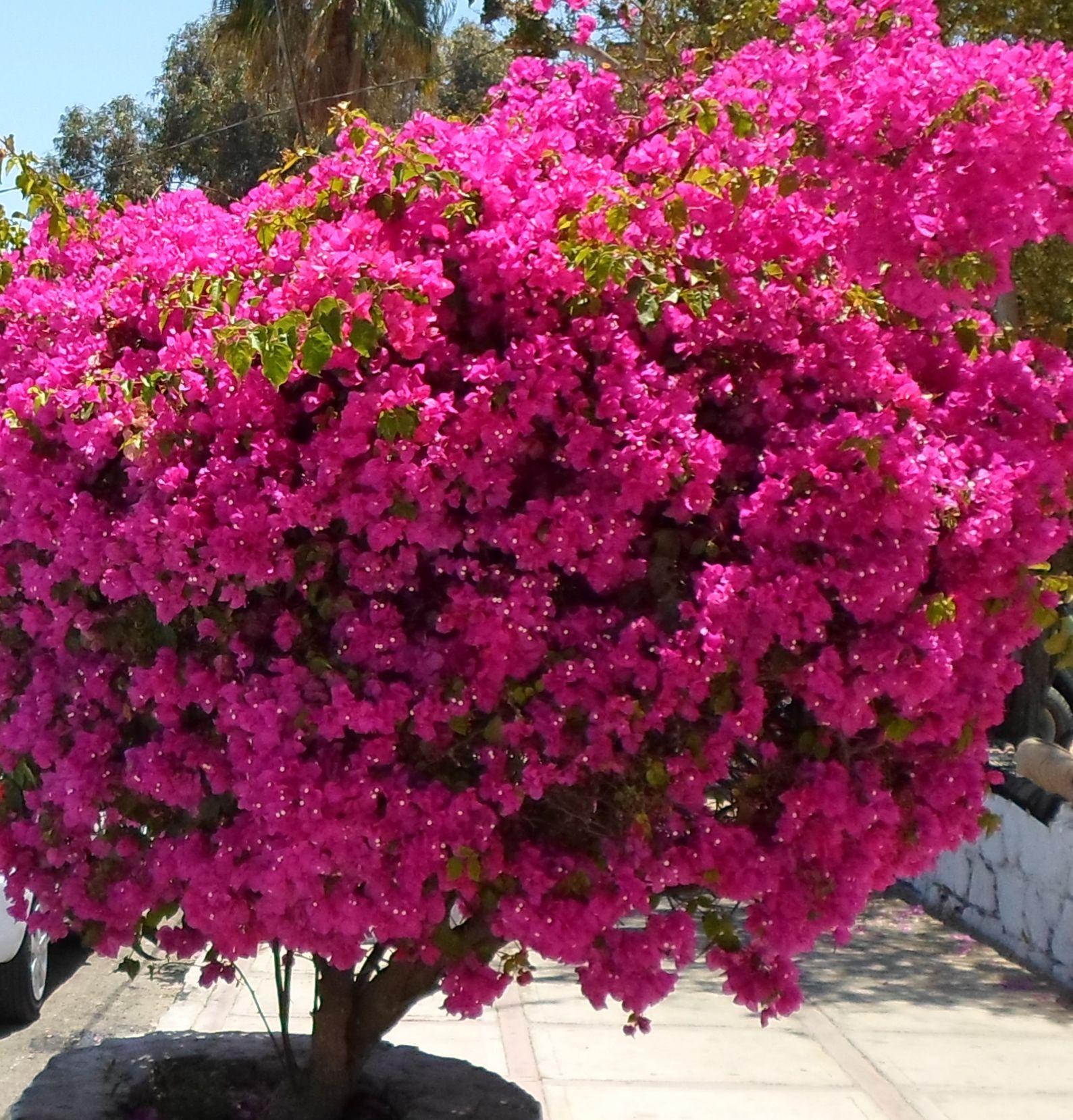 Bougainville Fleur se rapportant à blen: aromaterapia- bugambilia espectacular. todos santos, baja