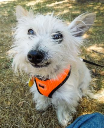 Adopt Angus A Lovely 12 Years 5 Months Dog Available For Adoption