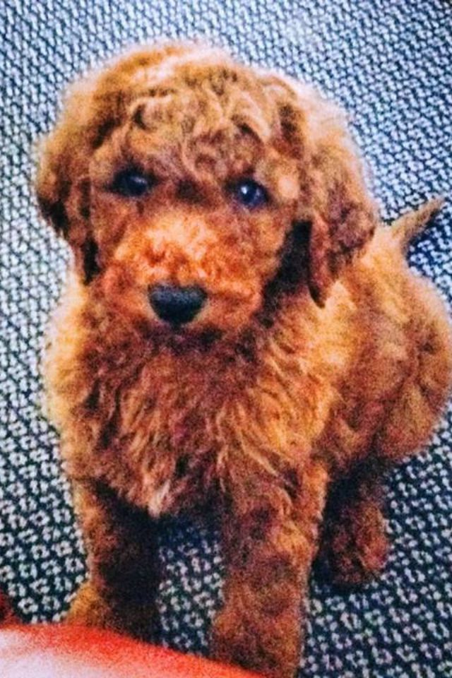 My New Little Red Groodle Puppy Golden Retriever X Poodle