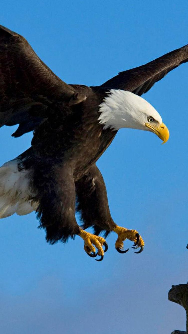 Eagle iPhone 6 Wallpaper Eagle pictures, Bald eagle, Eagle