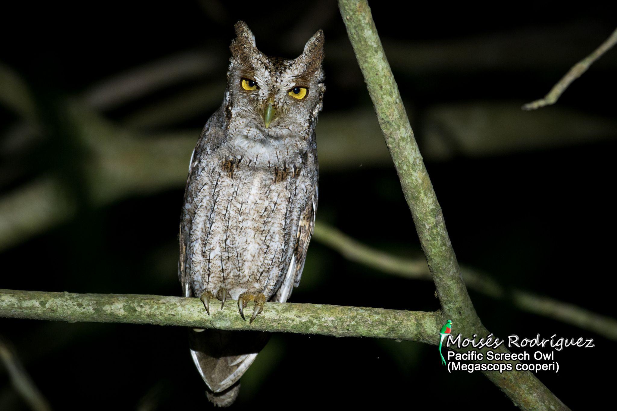 https://flic.kr/p/RACCjg   Pacific Screech Owl