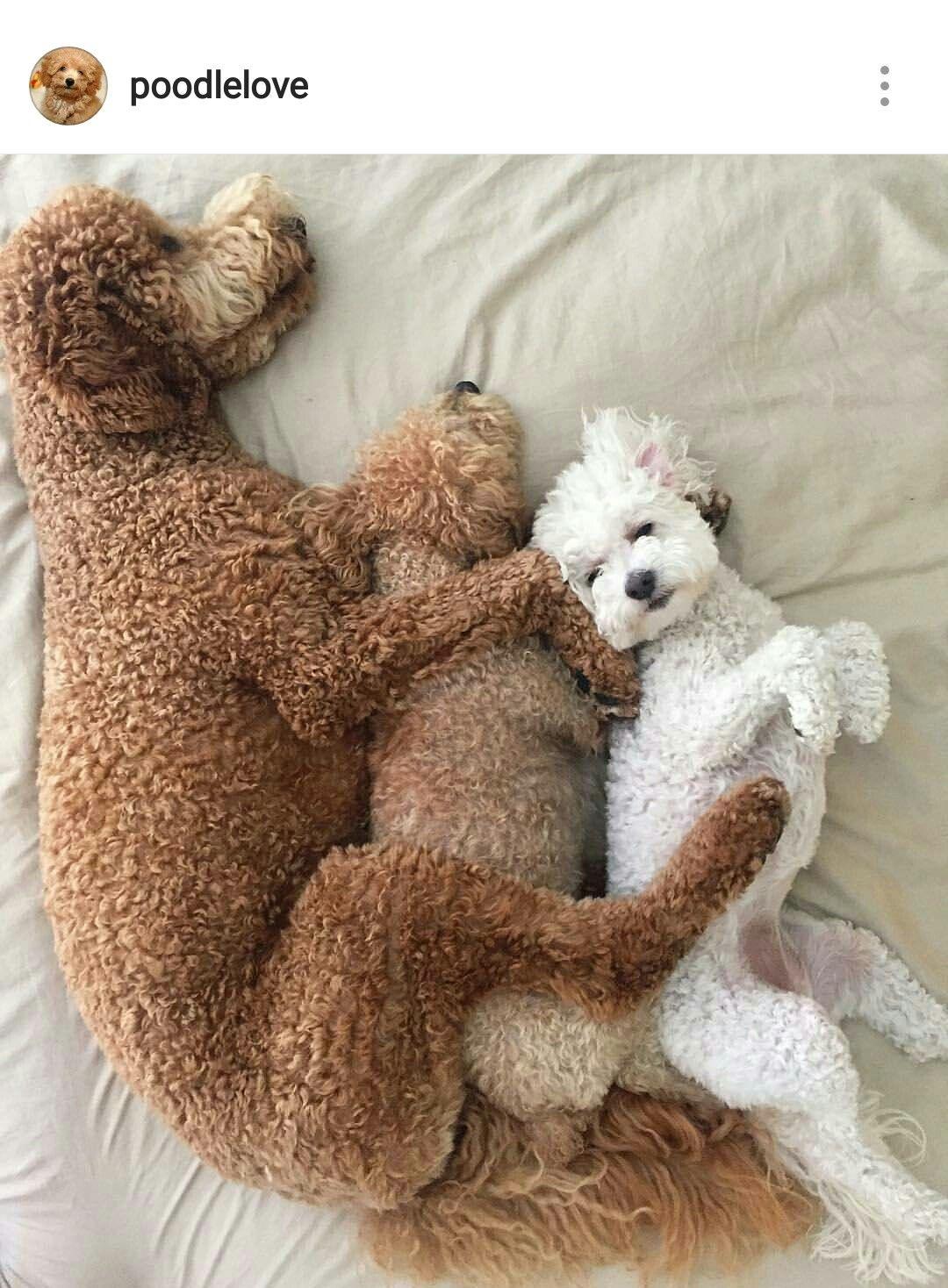 Puppy Love Poodle Puppy Poodle Dog Poodle