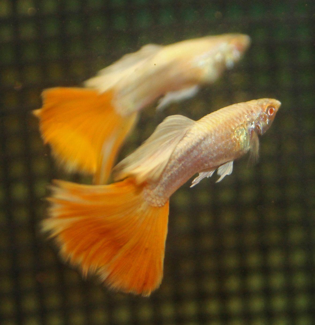Platinum Albino Aoc Orange Guppies Guppy Tropical Fish Aquarium Guppy Fish