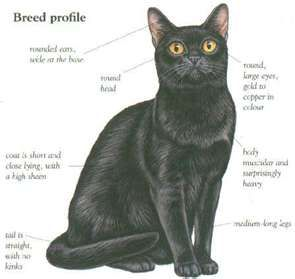 Bombay Cats Yahoo Image Search Results Bombay Cat Cats Cat