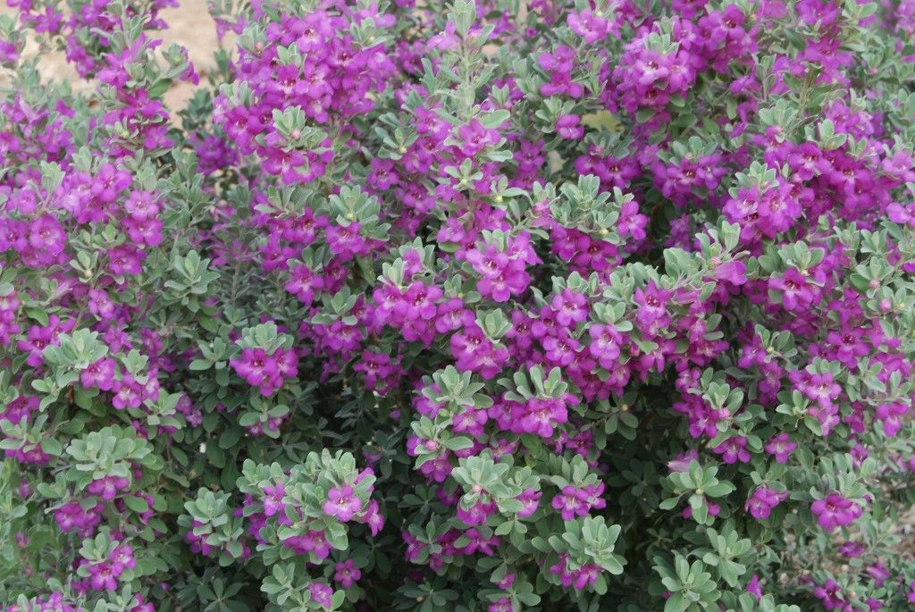 Flowering Shrubs Summer Color That Beats The Heat Purple Garden Plants Flowering Shrubs
