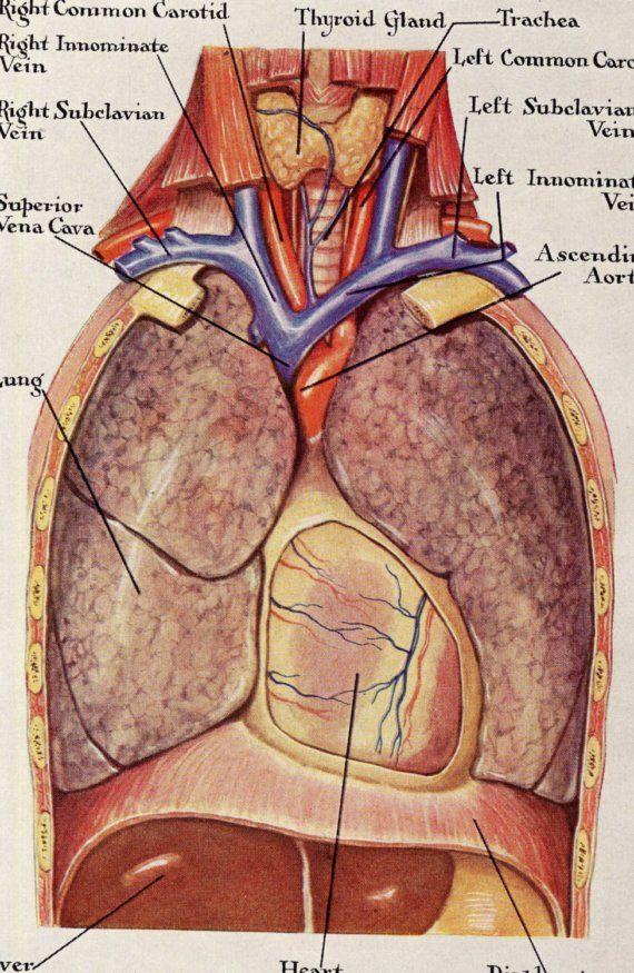 Human Anatomy Lungs Respiratory System Vintage Medical Illustration