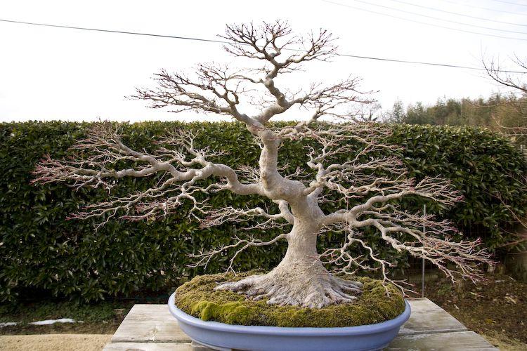 Incredible Nebari Maple Bonsai Bonsai Tree Bonsai Garden