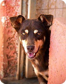 Toronto On Australian Kelpie Mix Meet Azalea A Dog For