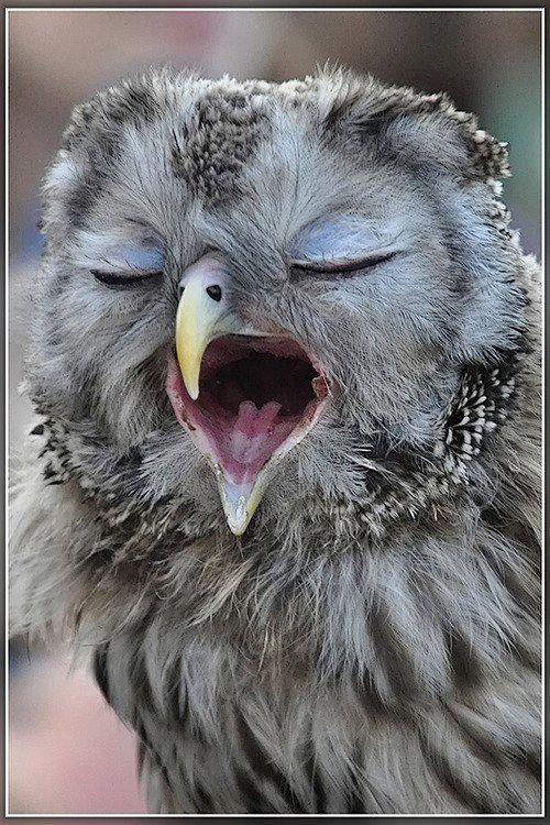 フクロウがあくびをしている壁紙