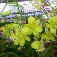 Tanaman Anggrek Dendrobium Yellow Cheers Tanaman Dan Anggrek