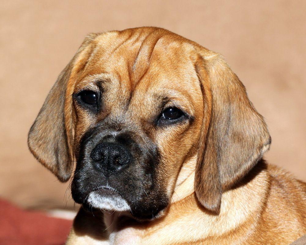 Boxer dobermann mischling