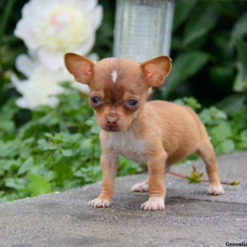 Chiweenie Puppies For Sale Chiweenie Breed Info Greenfield Puppies Chiweenie Puppies Chaweenie Puppies Chiweenie Dogs