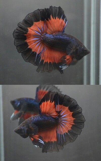 Black fire butterfly HM male