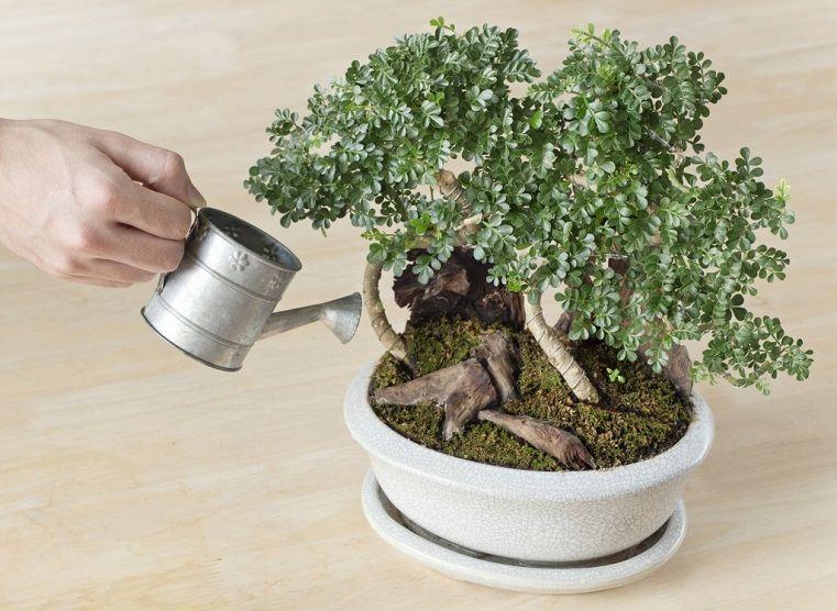 Luxueux Bonsai Arrosage Des Plantes Bonsai Pour Votre Jardin