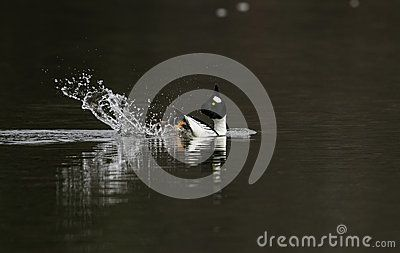A male Goldeneye duck performs his mating ritual with a splash of water.