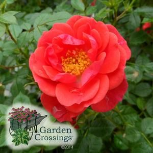 Growing Roses And When To Prune In 2021 Growing Roses Rose Care Rose