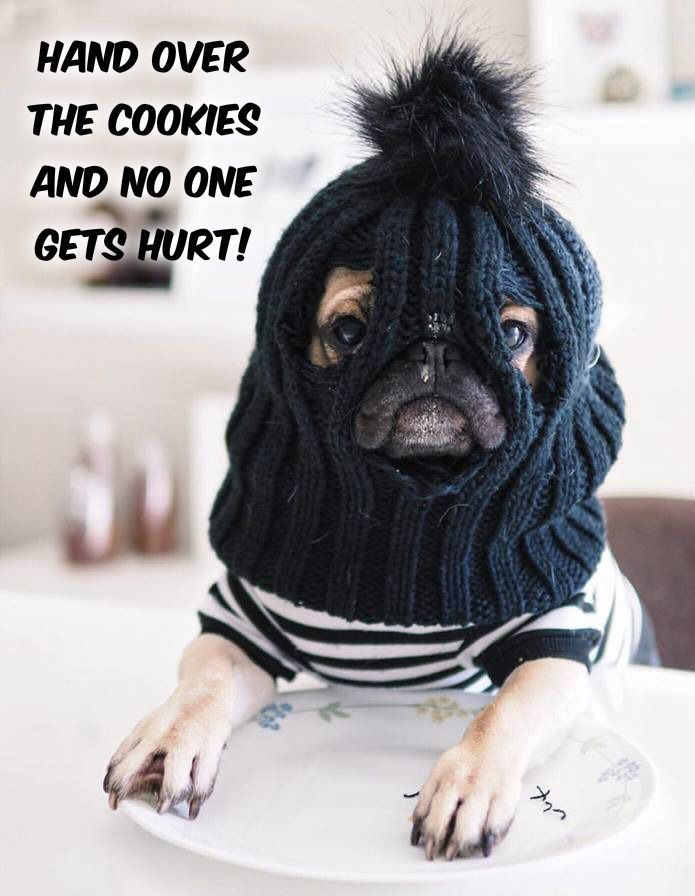 Funny Pug Dog Meme Pugs Funny Cute Funny Animals Cute Pugs