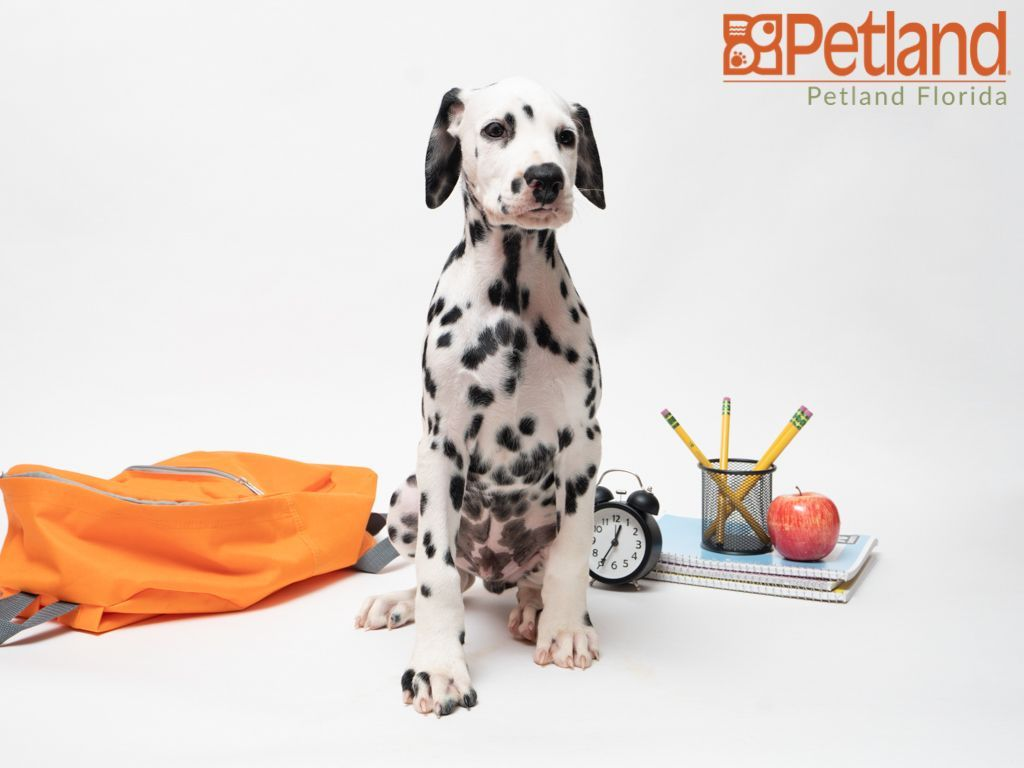 Puppies For Sale Puppy Friends Dalmatian Puppies For Sale Dalmatian Puppy