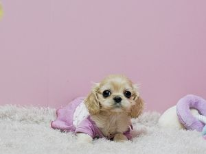 Teacup Cocker Spaniel So So So Please May I Puppies Cuddly Animals Teacup Puppies