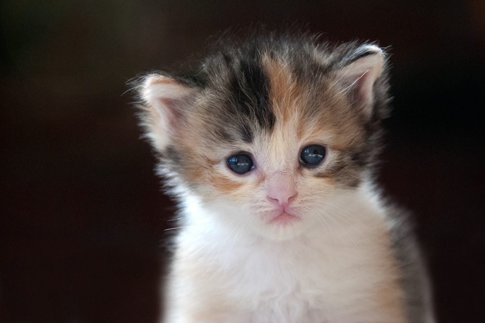 3 Week Old Calico Kitten Cat Photography California Kittens Cutest Cat Photography Pets