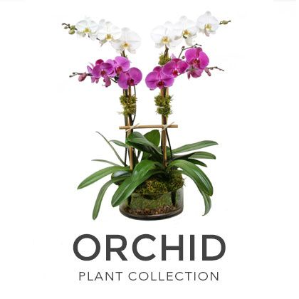 Plantshed Has Been Serving Nyc For Over 35 Years Now You Can Shop The Collection Too Visit Our Website To Browse Our Extravagant Orchid Col Orchid Plants Fresh Flower Delivery Flower Delivery