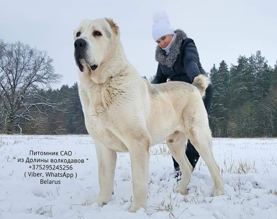Haifa From Romania Aziat With Images Large Dog Breeds