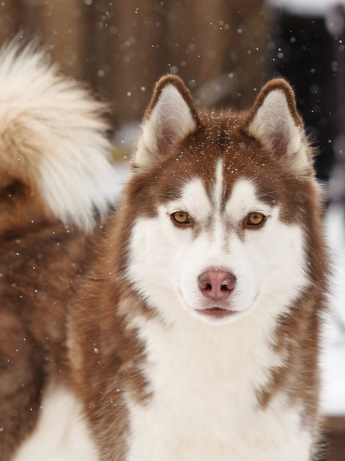 Siberian Husky Outgoing And Cheeky Dogs Puppies Red Husky