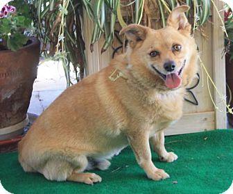 Palo Alto Ca Cardigan Welsh Corgi Shiba Inu Mix Meet Stumpy A Dog For Adoption Welsh Corgi Mix Pets Corgi