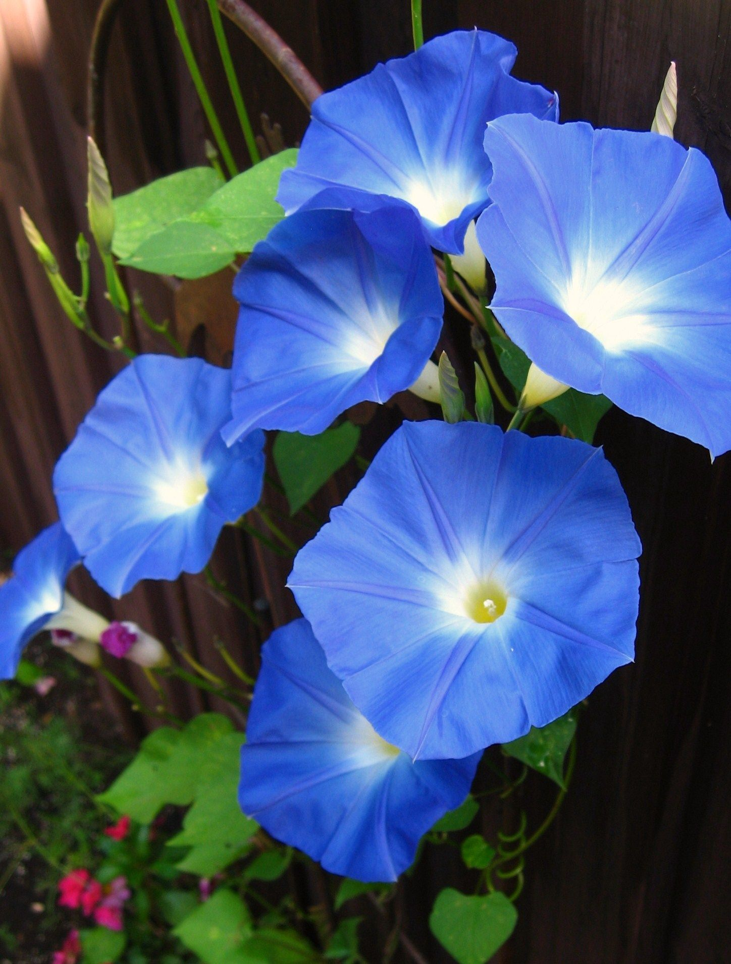 Heavenly Blue Morning Glory Morning Glory Flowers Blue Morning Glory Beautiful Flowers