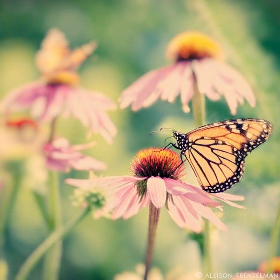 My mother loves Monarch Butterflies. When I was little, we used to raise them from eggs, and let them go once they emerged from their cocoons. Whenever I see one, I think of those times.
