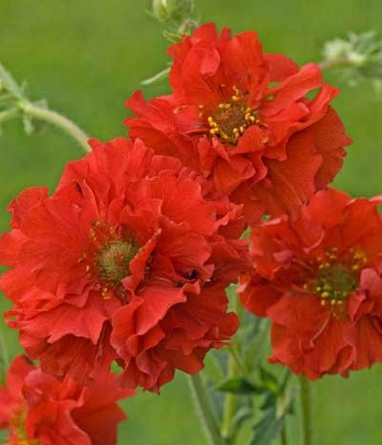 Geum seeds avens aka mrs bradshawbright red perennial flowers geum seeds avens aka mrs bradshawbright red perennial flowers seeds mightylinksfo