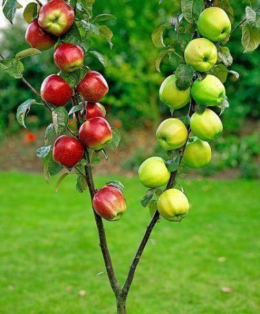 تويتات هل شاهدت شجرة تفاح مثمرة من قبل Grafting Fruit Trees Grafting Plants Fruit Plants