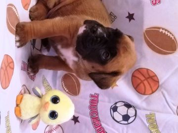 Litter Of 5 Boxer Puppies For Sale In Succasunna Nj Adn 26838 On