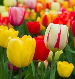 Pretty Tulip Festival Holland Tulip Festival Tulips
