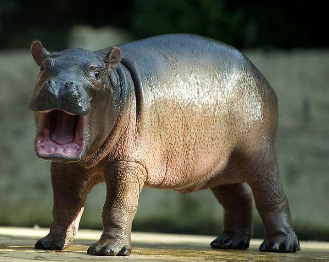 baby hippo #babyhippo baby hippo #babyhippo baby hippo #babyhippo baby hippo,  #albinoanimalb... #babyhippo baby hippo #babyhippo baby hippo #babyhippo baby hippo #babyhippo baby hippo,  #albinoanimalbaby #baby #babyhippo #hippo #babyhippo baby hippo #babyhippo baby hippo #babyhippo baby hippo #babyhippo baby hippo,  #albinoanimalb... #babyhippo baby hippo #babyhippo baby hippo #babyhippo baby hippo #babyhippo baby hippo,  #albinoanimalbaby #baby #babyhippo #hippo #babyhippo