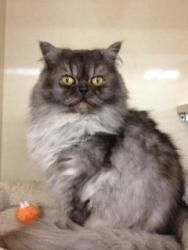 Adopt Suzy Q On Petfinder Pets Persian Cat Cats