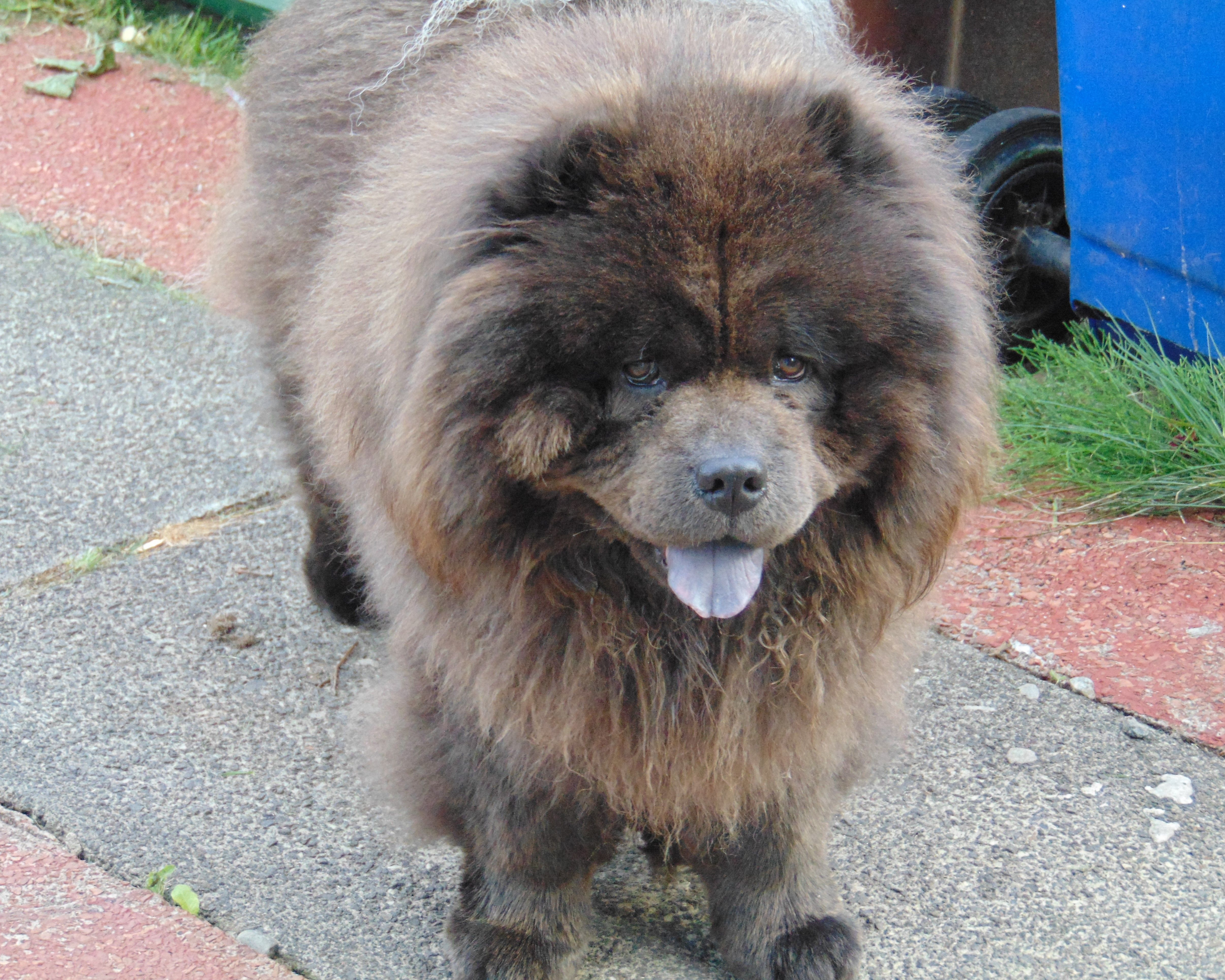 Chowchowpuppybrown Chow Chow Puppy Dogs Best Dogs For