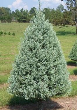 christmas tree types arizona cypress find out why to choose this tree as your family christmas tree - Cypress Christmas Tree