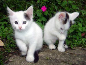 Dos gatitos blancos con manchas negras en la cabeza