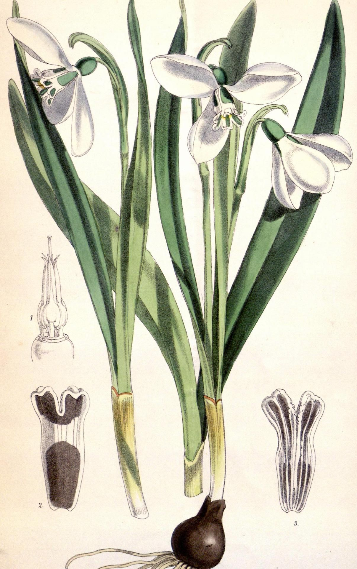 Common Snowdrop Galanthus Nivalis Curtis S Botanical Magazine Vol Xxxi Jan Joseph Dalton Hoo Botanical Illustration Botanical Art Botanical Drawings