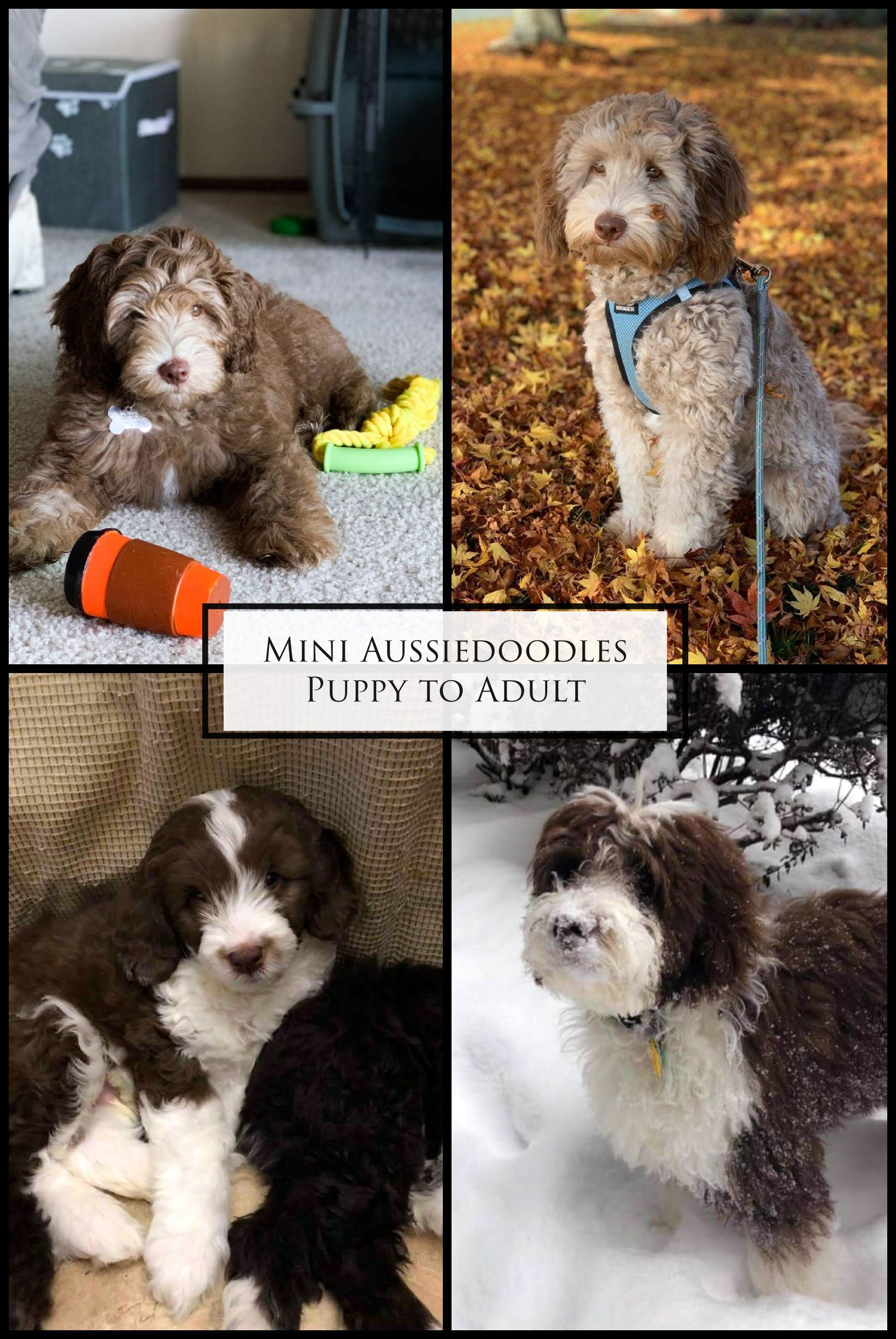 Available Merle Australian Labradoodle and Mini