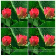 Фамильные ближний красный лотос комарова лотоса семена цветов, профессиональная упаковка, 1 семян / пакет, ароматный пруд цветок E3126(China (Mainland))