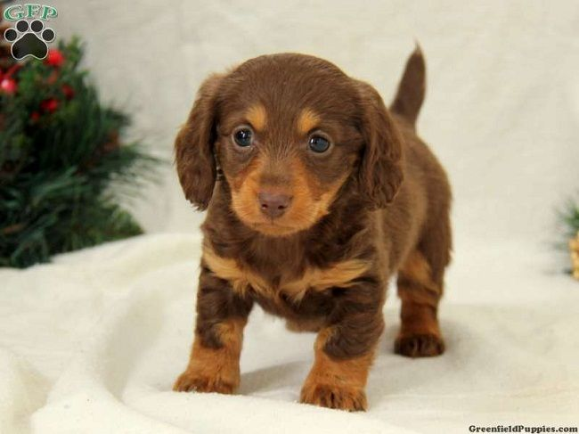 Mini Dachshund Puppies For Sale In Pa Zoe Fans Blog Cute Baby