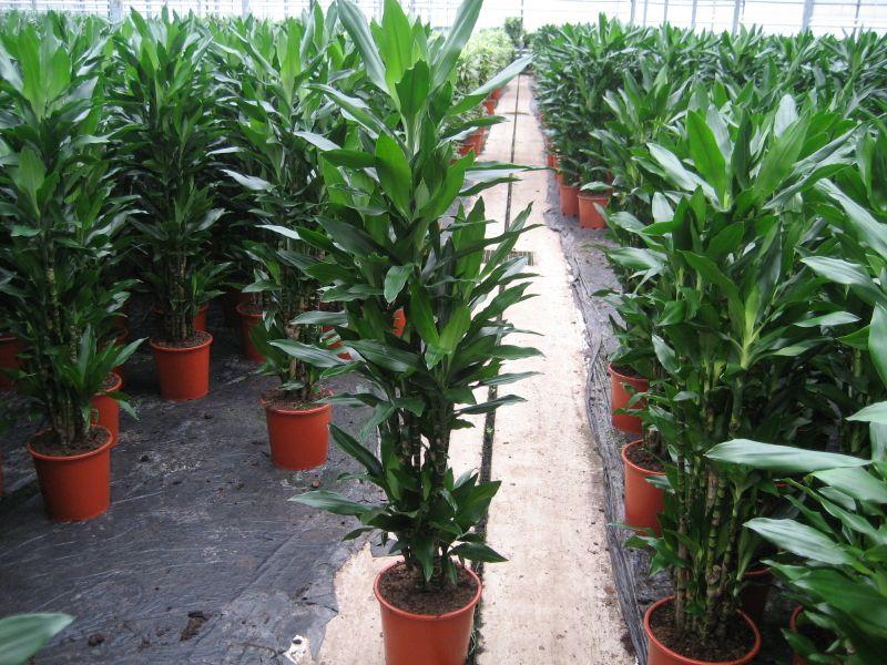 google image result for httpwwwlibraplantsnlpics - Tall House Plants Low Light