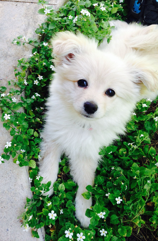 Puppy Pomchi