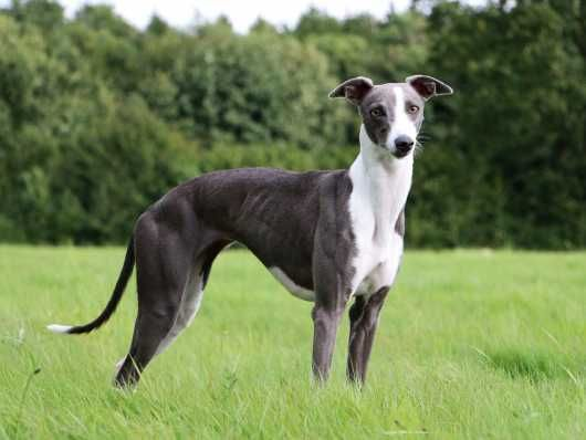 Highly Loved Whippet Timmy Walsall West Midlands Pets4homes
