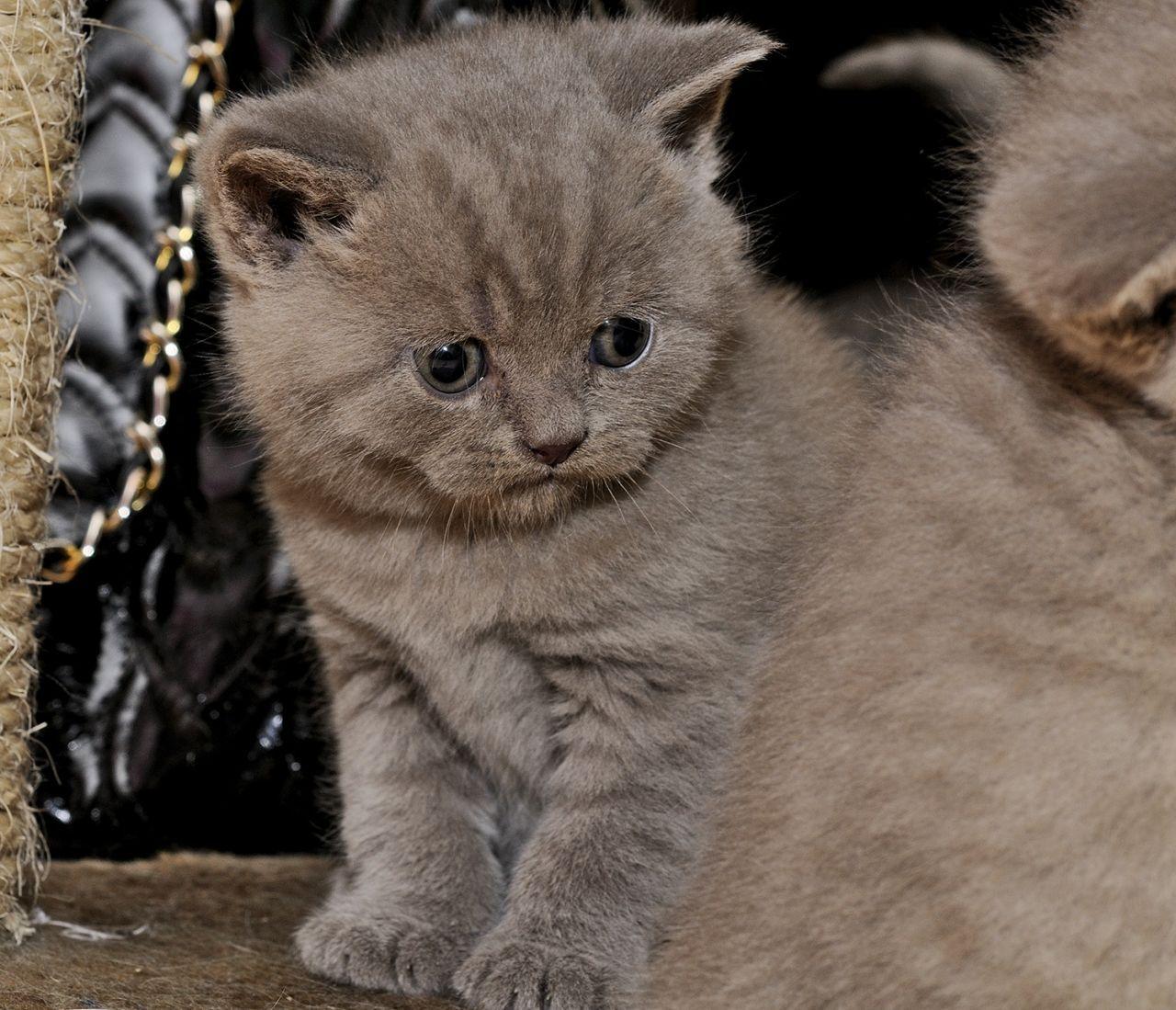 British Shorthair Kittens Google Zoeken British Blue Cat British Shorthair Kittens Cats For Sale