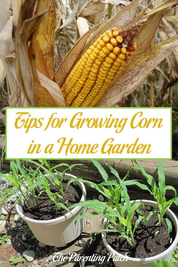 Tips For Growing Corn In A Home Garden Sweet