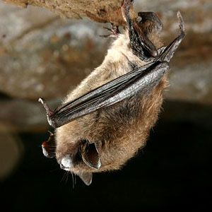 Support Vital Bat Protections in Pennsylvania