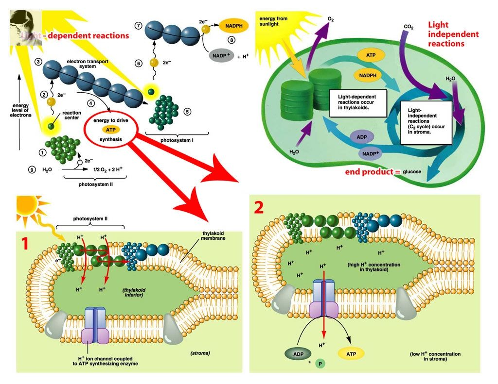 Process Of Photosynthesis And Cellular Respiration